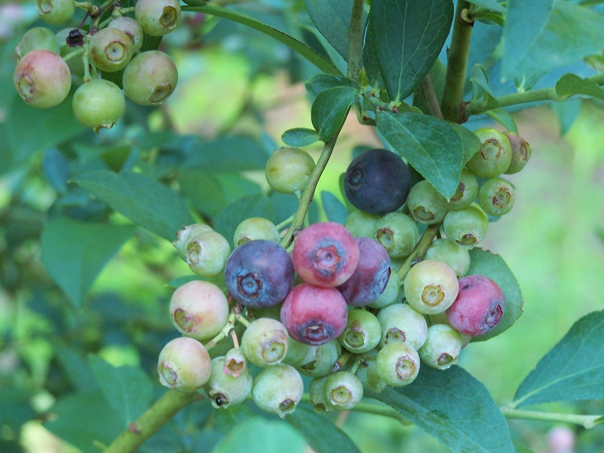 Blueberries on Blueberry Bush