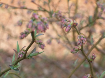 Spring Blueberry Buds