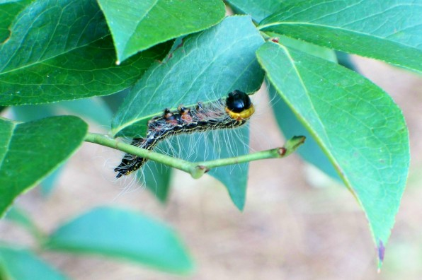 August Tent Moth Caterpillar Eating Dinner