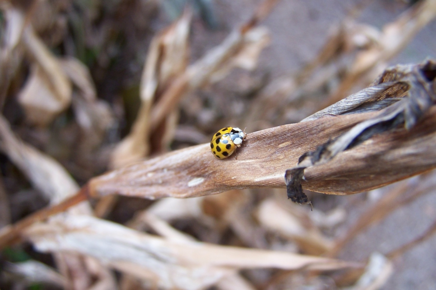 Yellow Lady Bug on