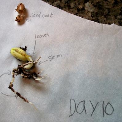 Bean Day 10