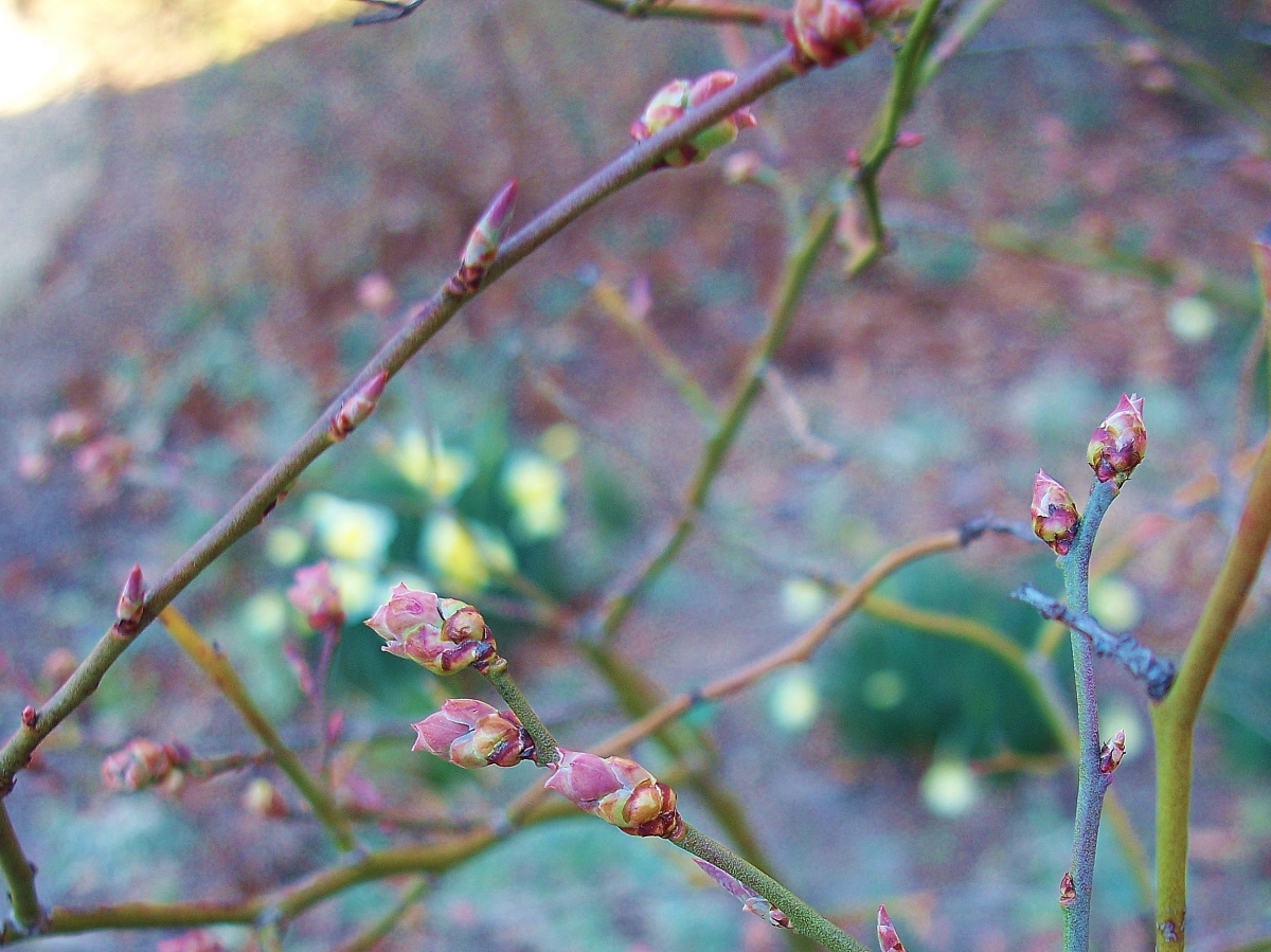 Budding Blueberry