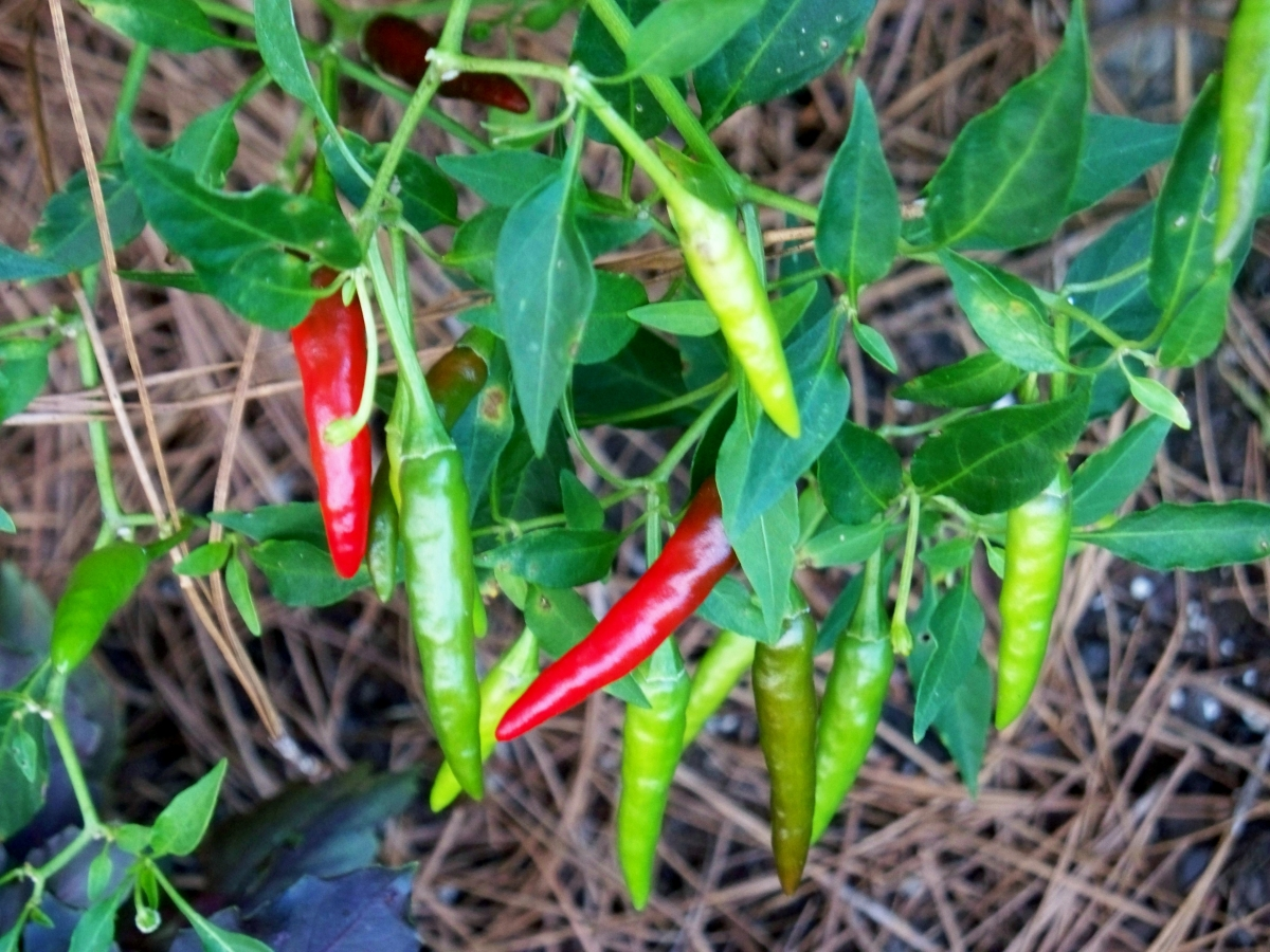 Red and Green Dragon Cayenne Peppers Growing