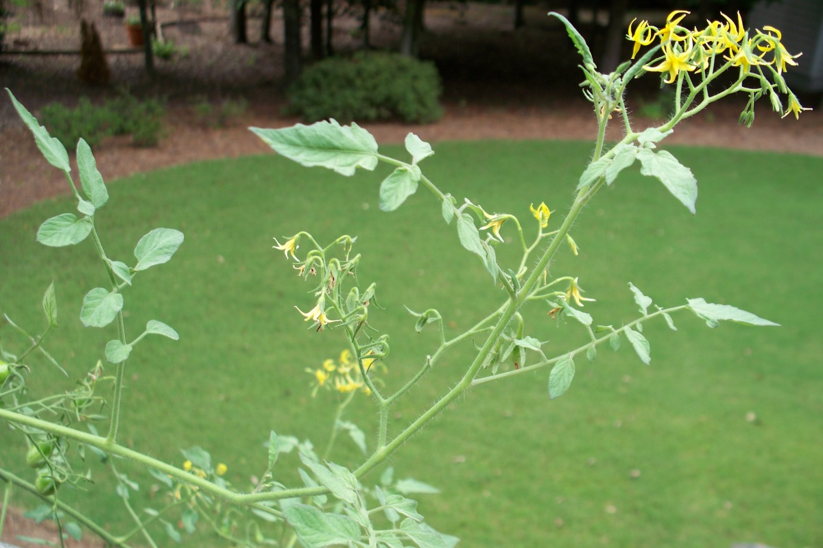 Heirloom Yellow Pear Tomato Plant in Bloom