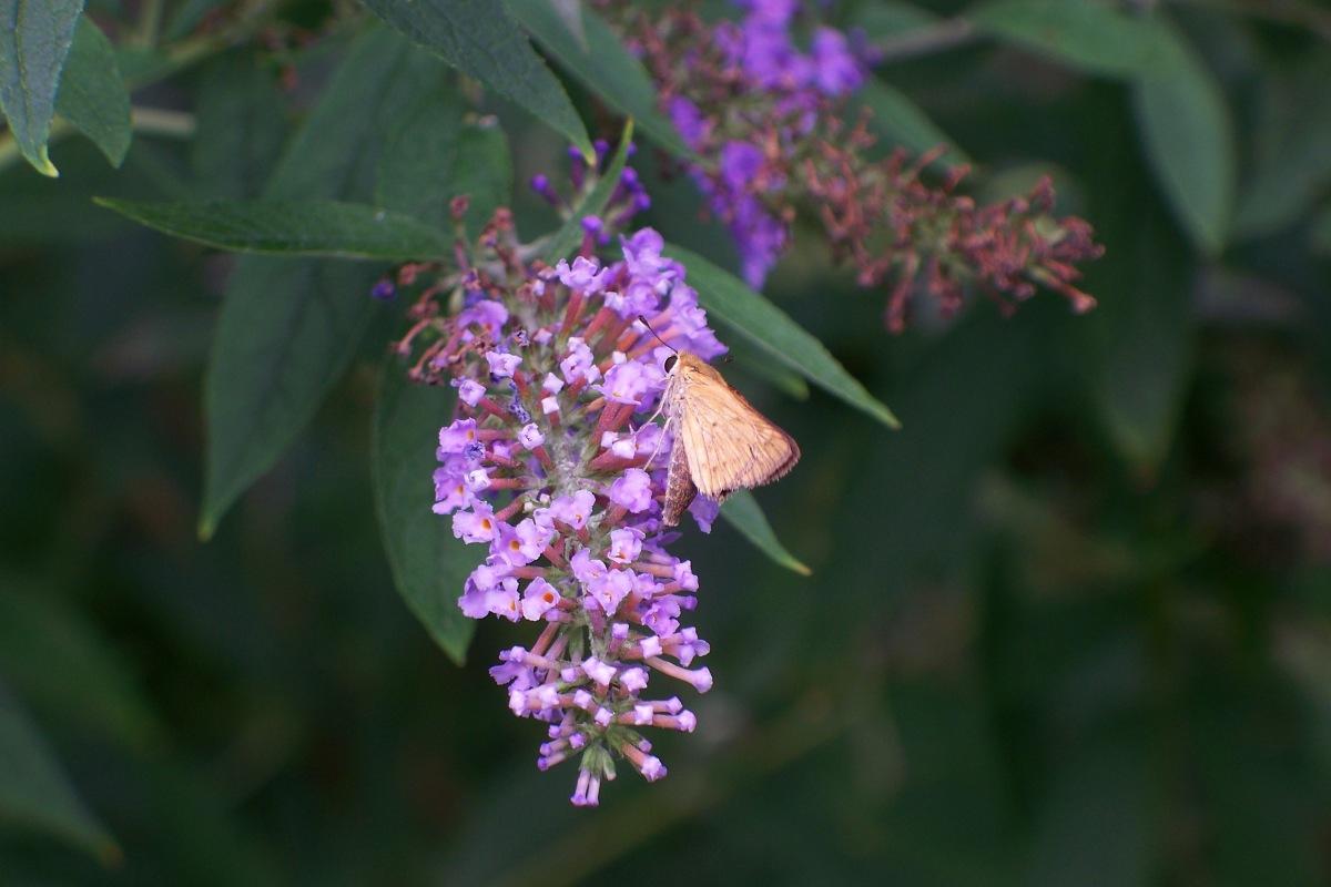 Moth on Butterfly Bush