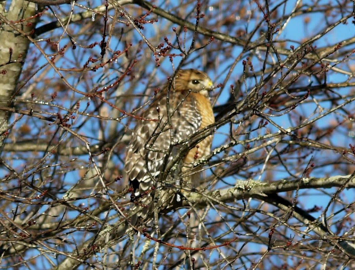 hawk-in-winter