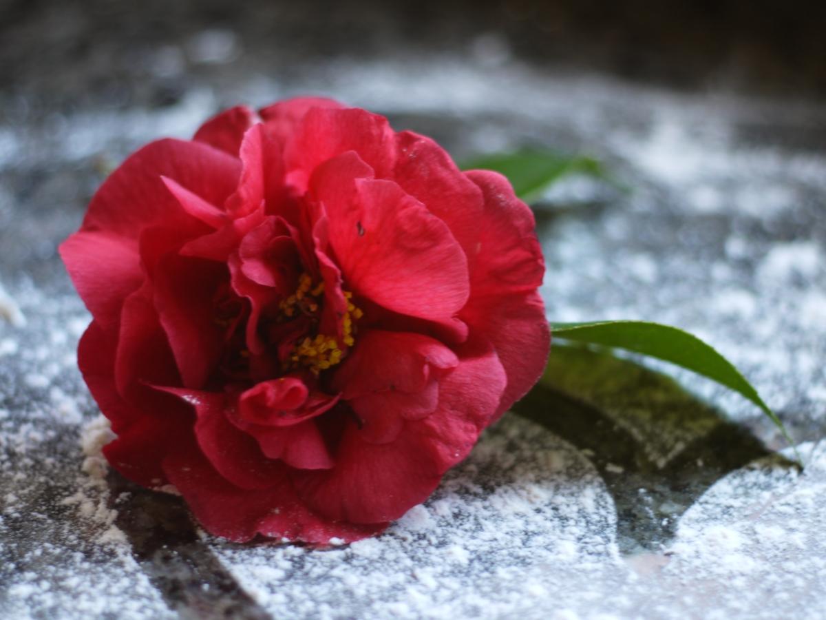 valentine-camellia