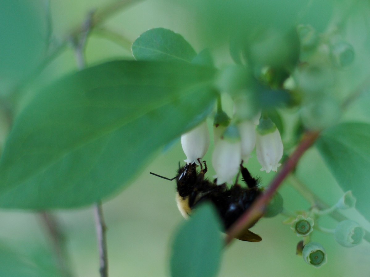 Bee on Berry Blossom