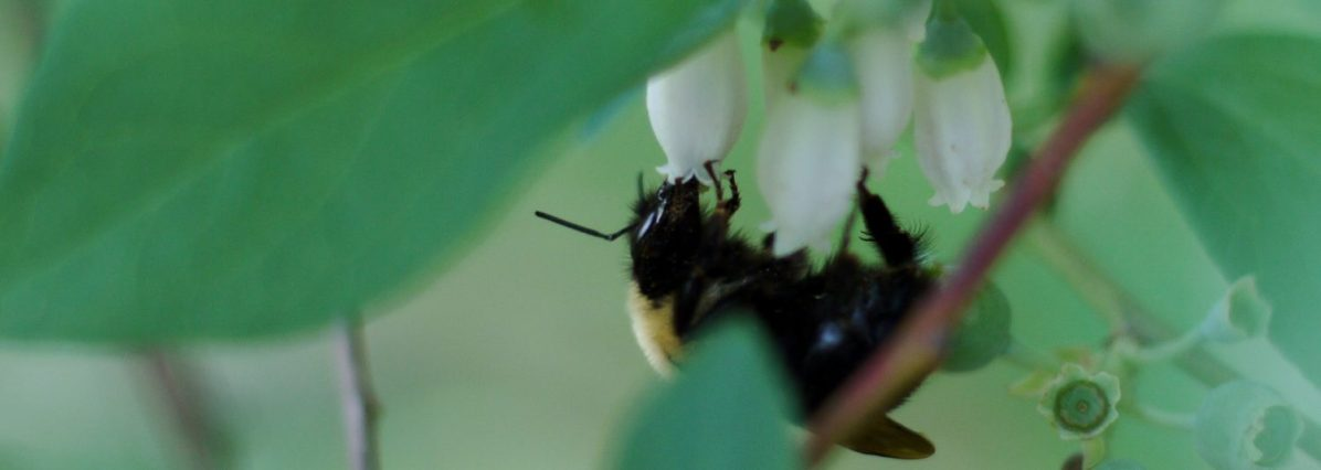 cropped-bee-on-berry-blossom.jpg