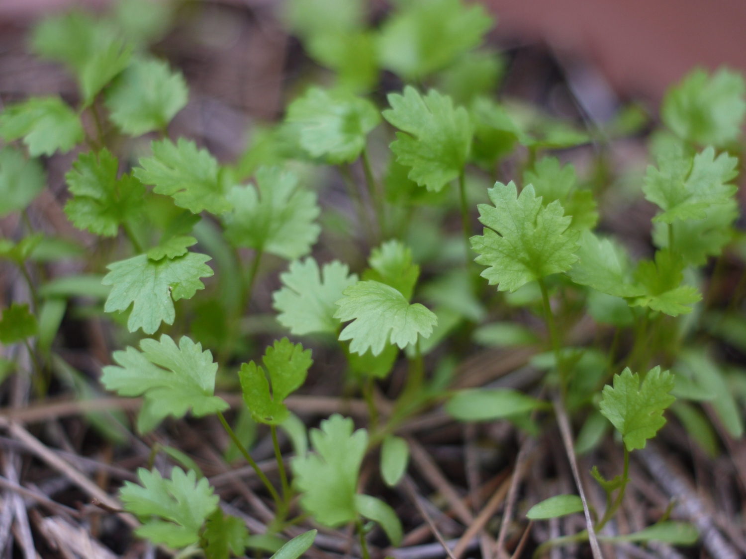 growing cilantro 2 week old sprouts