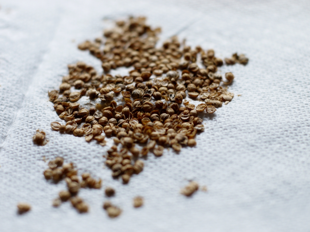 crushed coriander cilantro seed
